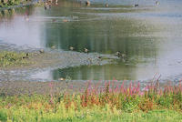Birds in wetland